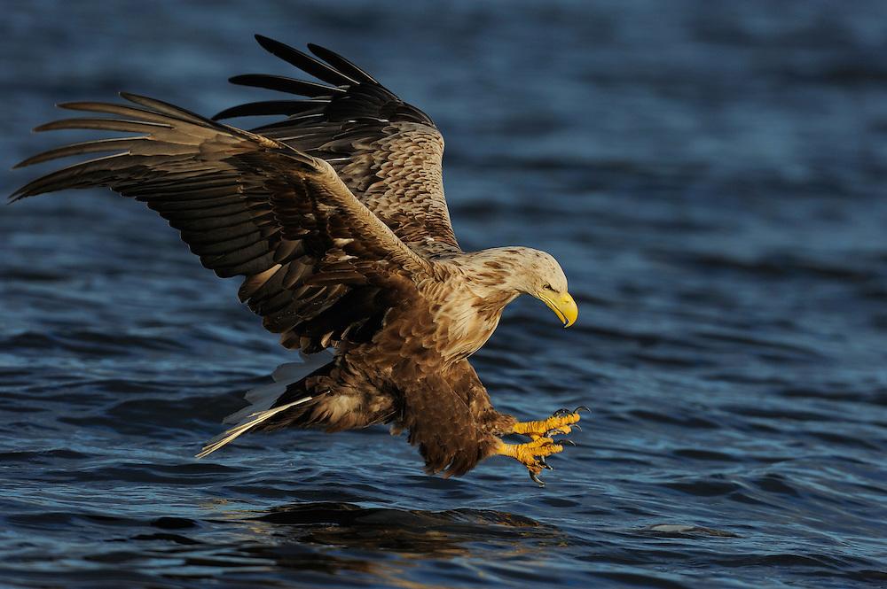 White tailed Sea eagle, Haliaeetus albicilla, The Living Sea, North Atlantic, Flatanger, Nord-Trondelag, Norway