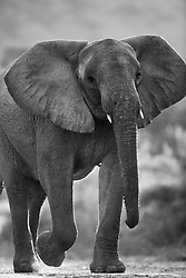A black and white low view of a young desert-dwelling elephant bull (Loxodonta africana) walking, Skeleton Coast, Namibia, Africa