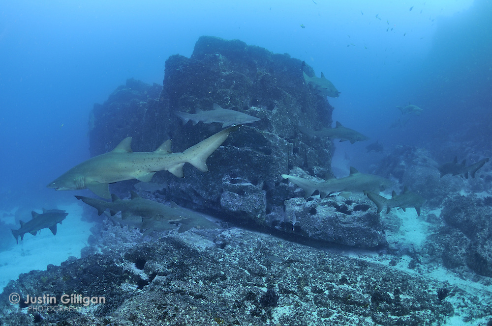 The largest aggregation of grey nurse sharks (Carcharias taurus) ever photographed, photographed off Seal Rocks, New South Wales, Australia, Pacific Ocean.