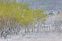 Aspen (Populus tremuloides) grove after autumn snow, Glacier National Park Montana