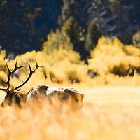 Bull elk with antlers