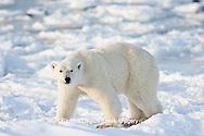 01874-12213 Polar Bear (Ursus maritimus) near Hudson Bay  in Churchill Wildlife Management Area, Churchill, MB Canada
