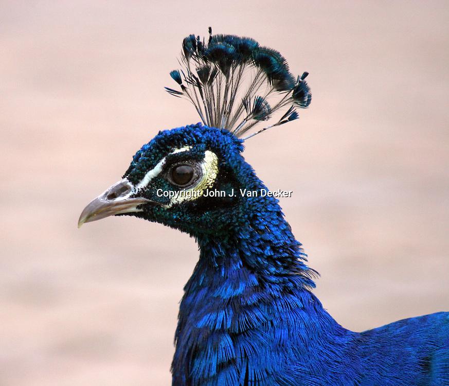 Peacock head looking left