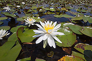 American waterlillies in Bayou Lacombe