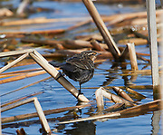 Female Red-winged Blackbird (Agelaius phoeniceus) foraging among cattails, French Basin trail, Annapolis Royal, Nova Scotia, Canada,