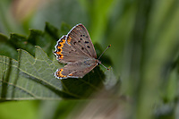 Lycaena x. xanthoides (Great Copper) ♀ at Sherman Pass, Tulare Co, CA, USA, on 10-Jun-18