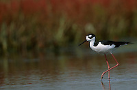 A black-necked stilt (Himantopus mexicanus) feeds in a salt marsh with pickleweed behind it.