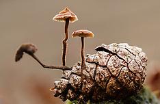Oorlepelzwam, Auriscalpium vulgare