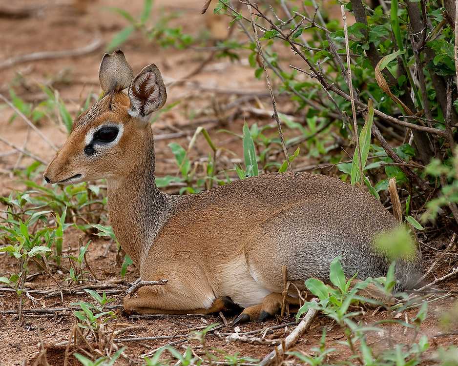 (Madoqua kirkii) Dik-Diks are miniature antelope, no larger than a house cat. A Female Kirk's Dik-Dik Rests After Grazing, Tarangire National Park, Tanzania.
