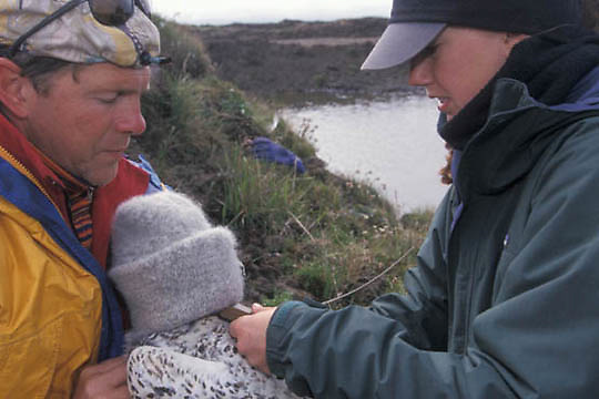 Snowy Owl, (Nyctea scandiaca) Denver. Alaska Holt and Laura Phillips prepare female for satellite transmitter. Barrow, Alaska