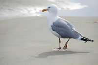 A Herring Gull walking along a beach at the water's edge.