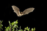 A western long-eared myotis (Myotis evotis) , at night in the Ochoco National Forest, Oregon.