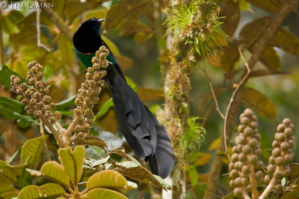 Huon Astrapia (Astrapia rothschildi) adult male at a fruiting Shefflera tree.