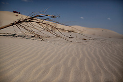 A fallen tree is seen in the Taminchagan desert of Kunlun Qi in the Inner Mongolia Autonomous Region of China on 24 April 2011. Inner Mongolia, China's third largest province, is fighting severe desertification, much like the provinces of Xinjiang, Gansu, Qinghai, Ningxia, Shaanxi, Heilongjiang and Hebei. Over-grazing, logging, expanding farms and population pressure, along with droughts have steadily turned once fertile grasslands into sandy plains. China has adopted measures to stop the land degradation such as reforestation, resettling nomadic Mongolians from grasslands to urban areas and restricting grazing areas. The forced removal of nomadic tribes from their traditional pastures to reduce over-grazing however remains controversial as opponents of the government's plan say herders who have grazed the grasslands for centuries are key to solving the problem while restricting them to one place would instead result in even more serious denudation of the areas they were resettled in. Tree planting has become a key government effort to combat desertification and supporting the government's reforestation endeavors are numerous non-governmental organizations (NGOs), such as Shanghai Roots & Shoots. The NGO launched the Million Tree Project in 2007 in Kulun Qi with aims to plant its first million trees by 2014 to hinder the expanding desert. To-date, they have planted more than 600,000 trees.