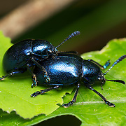 Blue milky weed beetle, Chrysochus pulcher, mating in Chaloem Phrakiat Thai Prachan National Park, Thailand.