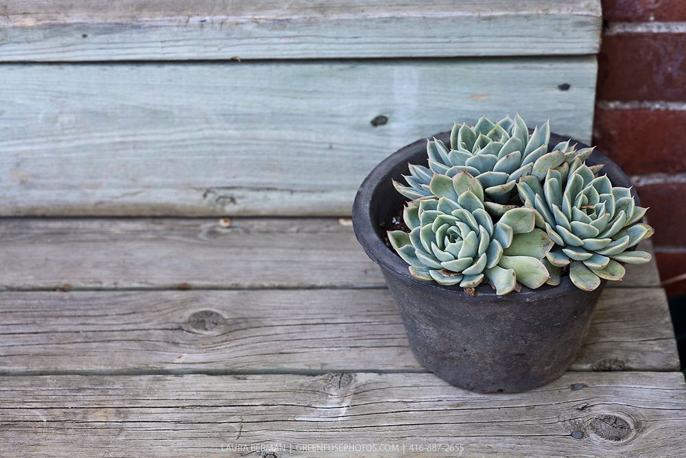 Blue-grey Hen and Chicks in a black stone pot on wooden steps.