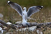 Red-billed Gull Pictures - Photos