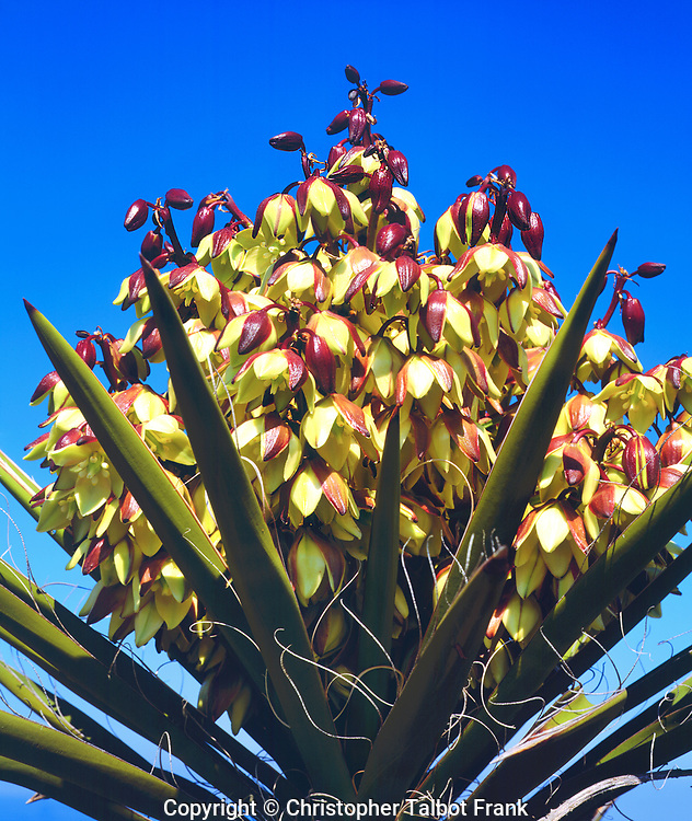 California; CA; Yucca Wildflowers in Torrey Pines State Park