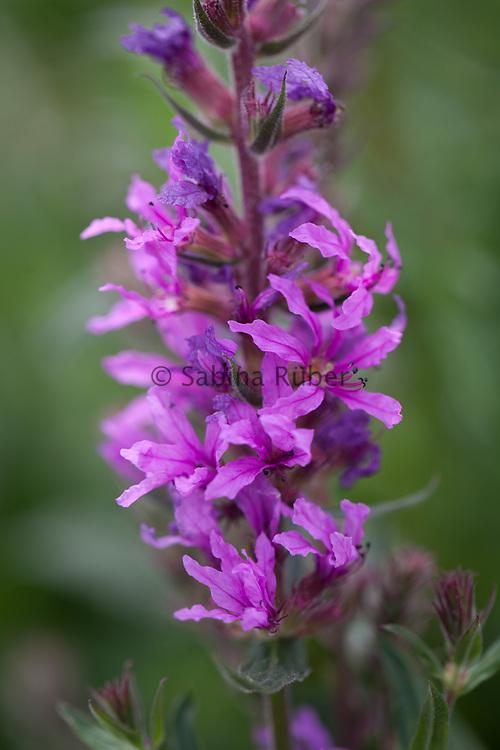 Lythrum salicaria 'Rosy Gem' - purple loosestrife