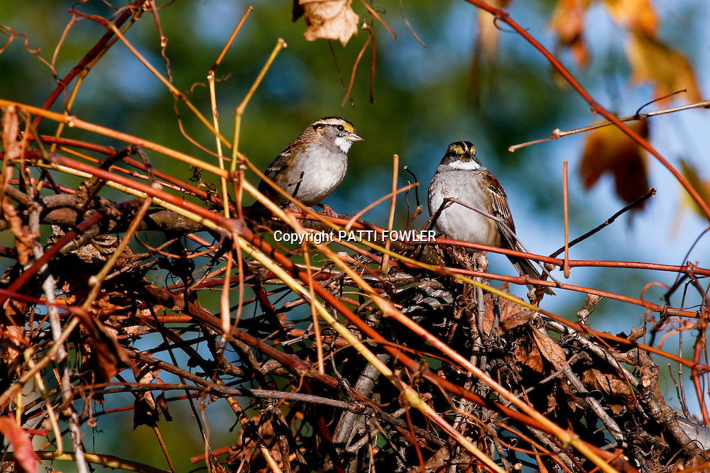 White-throated sparrow pair in grape vines in autumn