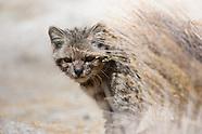 Andean cat / Gato Andino