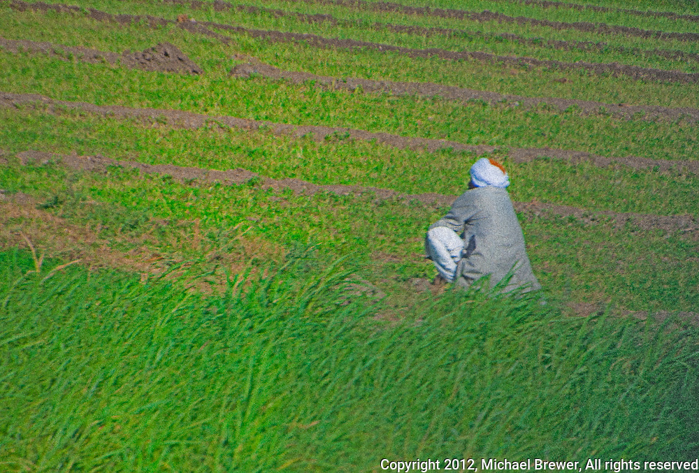 Man sitting in a field of growing crops at Fayum oasis, Egypt.