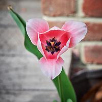 20200412-tulip