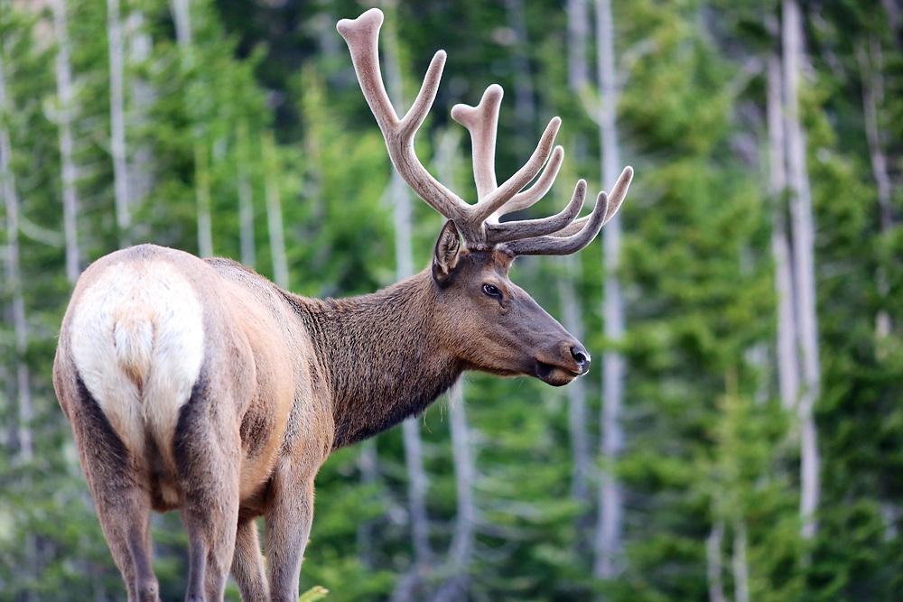 Bull elk in summer with velvet antlers