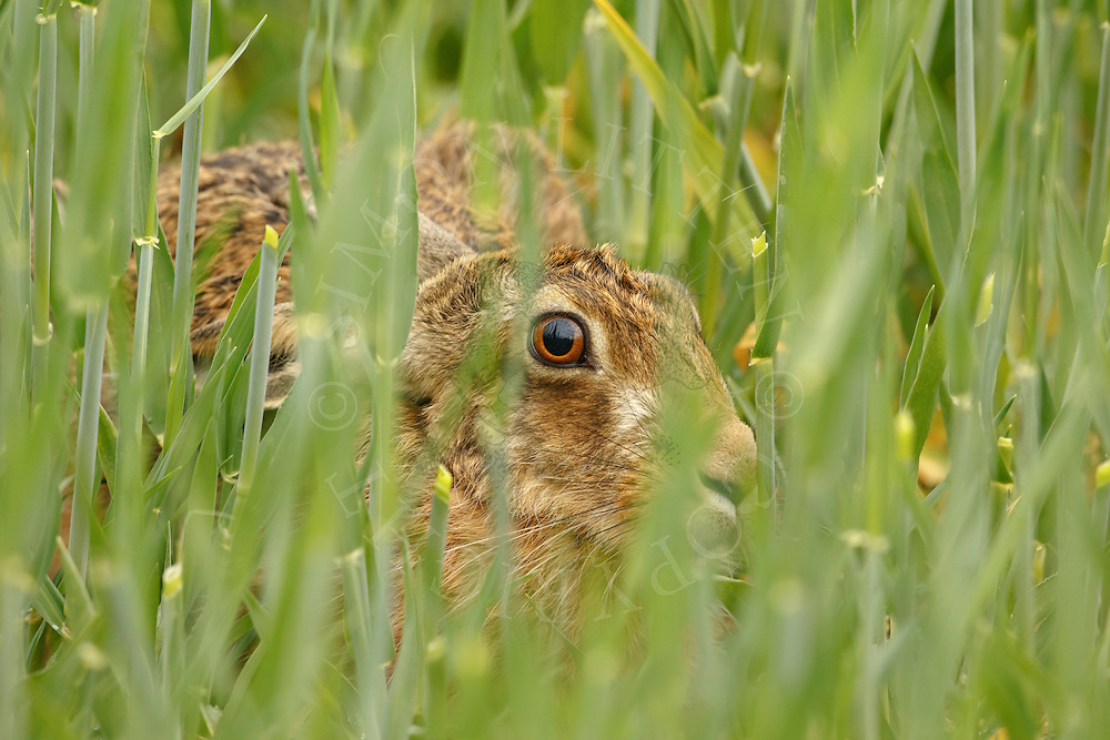 European Hare (Lepus europaeus) adult at rest in barley crop, South Norfolk, UK. May.