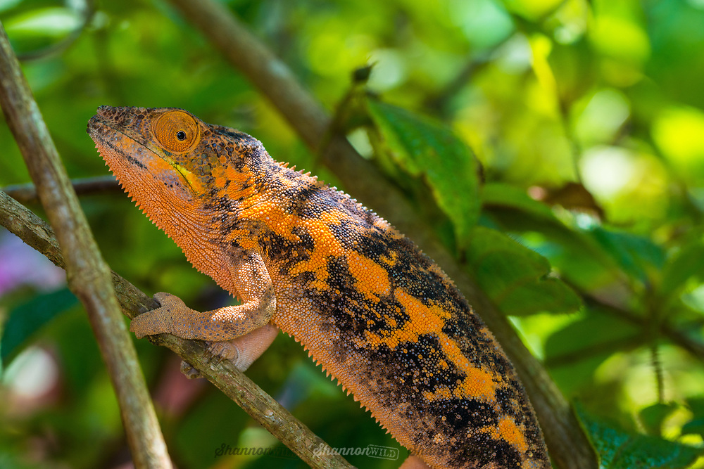 The panther chameleon (Furcifer pardalis) is a species of chameleon found in the eastern and northern parts of Madagascar.