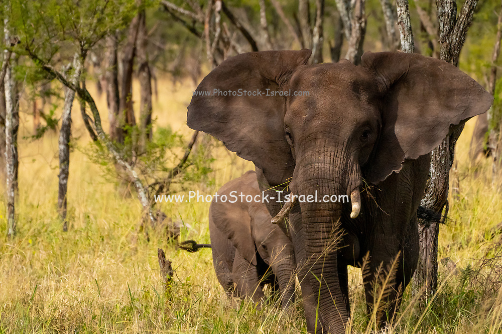 Front view of African Bush Elephant (Loxodonta africana) Photographed at Serengeti National Park, Tanzania