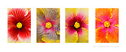 'Hibiscus Variety'<br /> <br /> Four (4) photo set.<br /> <br /> MATTE PRINTS:<br /> 5x7<br /> 8x12<br /> 11x14<br /> 12x18<br /> 16x24<br /> 20x30<br /> 24x36<br /> <br /> CANVAS GALLERY WRAPS:<br /> 8x12<br /> 12x18<br /> 16x24<br /> 20x30<br /> 24x36<br /> <br /> Aluminum Prints:<br /> Inquire<br /> <br /> Contact:  btabiolo@gmail.com