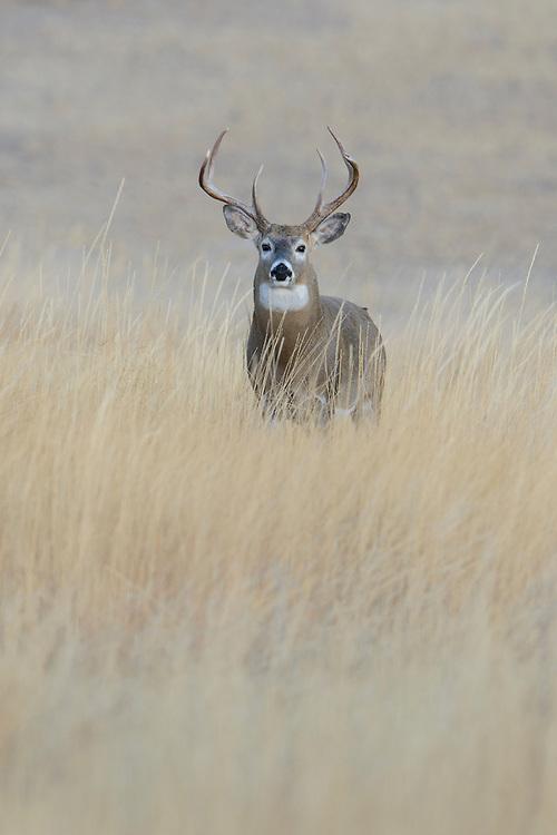 White-tailed Buck on hillside, Missoula, Montana