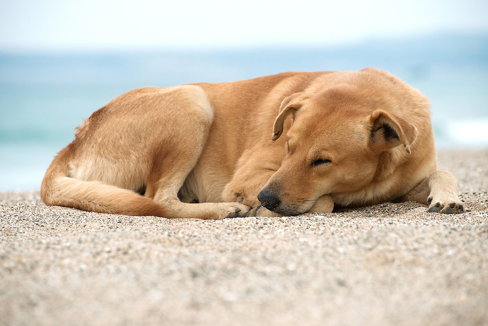 Dog Sleeping on Beach