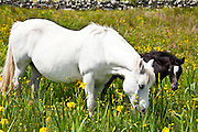 Connemara pony grey mare and foal in buttercup meadow, Connemara, County Galway, Ireland