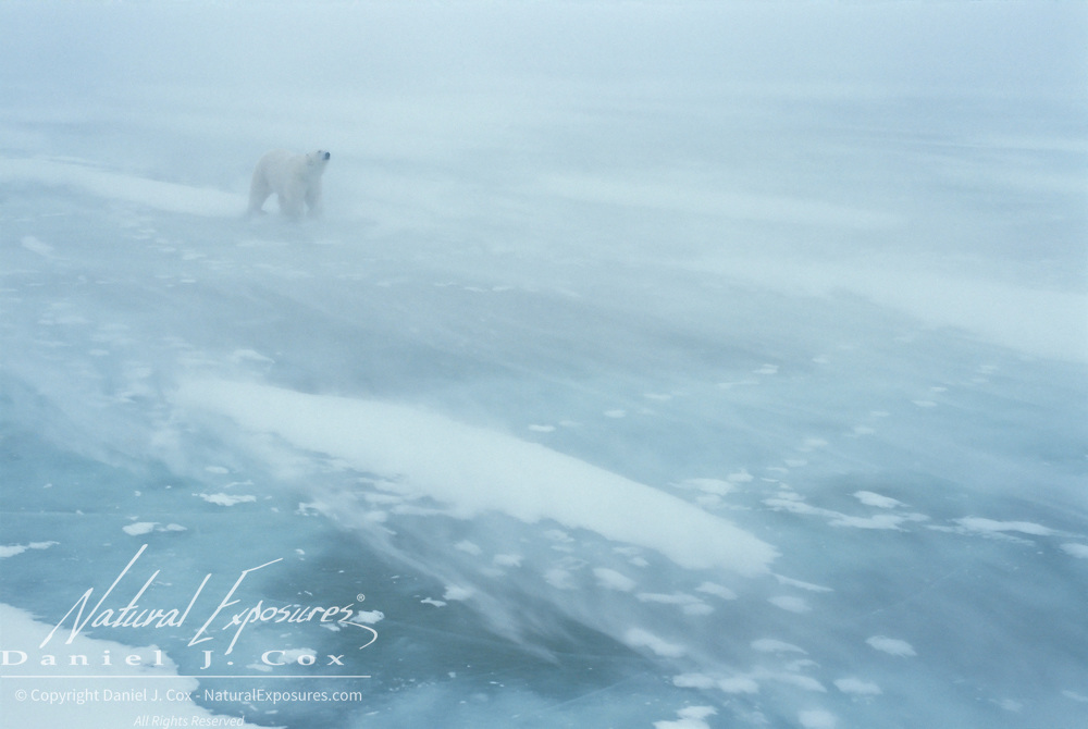Polar Bear (Ursus maritimus) on the frozen ice of Churchill, Manitoba, Canada.