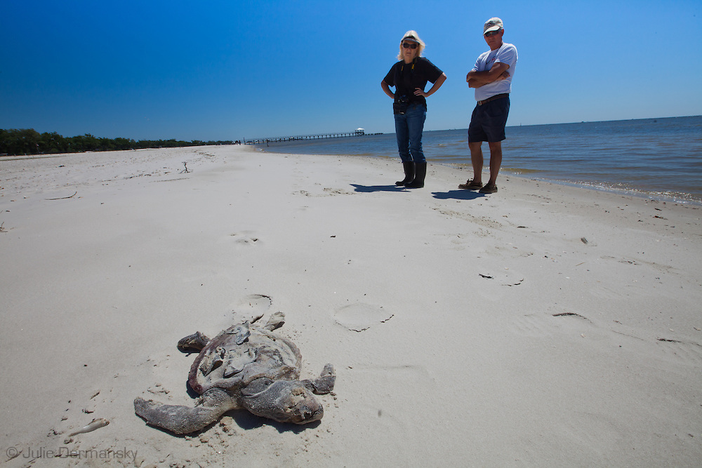 Shirley and Don Tillman, citizen journalsits who search check the beaches daily for dead animals , near dead sea turtle on the beach in Pass Christian Mississippi. <br /> An unprecedented number of dead young  Kemp's Ridley and Loggerhead sea turtles,  have washed up on the shores of Mississippi along the Gulf of Mexico starting almost a year after the BP oil spill. <br /> Test are being done on the high number of turtle and dolphin corpses found on the beaches but results have not been released.