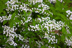 2 May 2010:  white flowers on  small bush