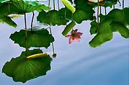 Vietnam Images-flower-Lotus-Hoa sen-HUE city -Hoàng thế Nhiệm