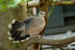Oriental Turtle Dove, Streptopelia orientalis, Japan, by Owen Deutsch