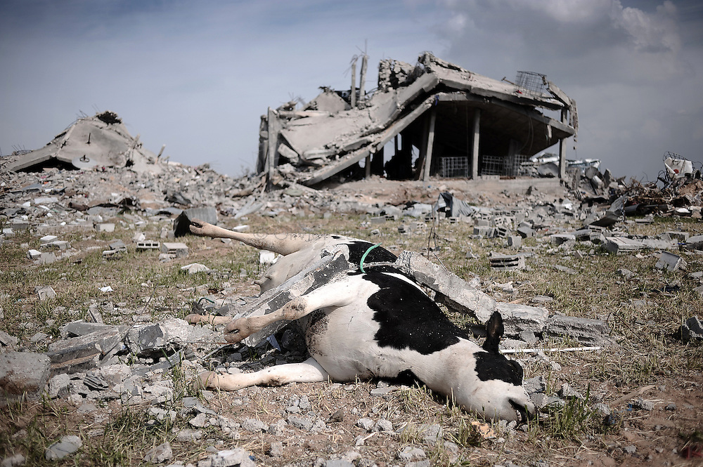 A dead cow lies in the rubble on January 19, 2009 in Jabalia's Ezbet Abdrabbo neighborhood. A tenuous ceasefire held today in Gaza, where Palestinians dug out from the rubble and Hamas put on a show of defiance vowing to fight on after the Jewish state's deadliest war on the strip.
