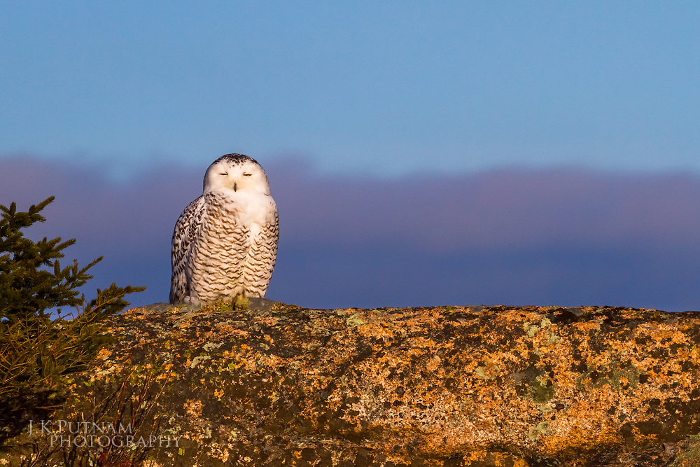 Arctic Snowy Owl (Bubo scandiacus) perched along the ridge of Sargent Mountain in Acadia National Park, Mount Desert Island, Maine.