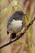 Stewart Island Robin, New Zealand