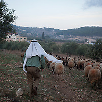 A herdsman walks with his flock of sheep through olive groves in the Jenin District of the occupied West Bank.