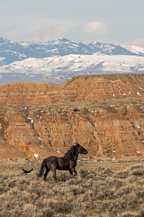 The wild black stallion, Mesquite, gallops past the badlands at McCullough Peaks Herd Management Area outside Cody, Wyoming.