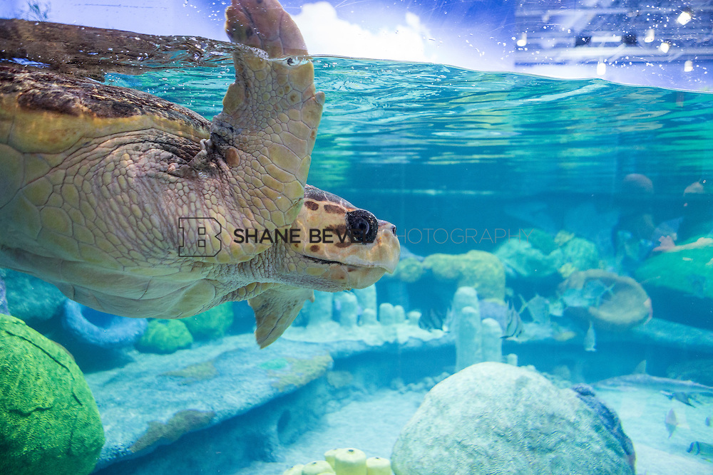 3/2/17 11:00:14 AM -- The ribbon cutting and grand opening of the new sea turtle exhibit at the Oklahoma Aquarium in Jenk, Okla. <br /> <br /> Photo by Shane Bevel