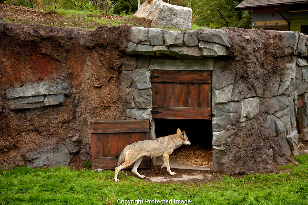 Red Wolves at Point Defiance Zoo and Aquarium in Tacoma, WA on  Wednesday, Sept. 1, 2010. (Photo/John Froschauer)