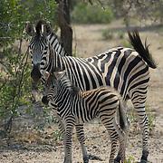 Burchell's zebra (Equus quagga burchellii) mother and her baby. Mala Mala Game Reserve, South Africa