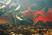 Alaska. Big Lake. Fish Creek. Spawning Sockeye red salmon (Onchorynchus nerka).