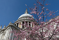 © Licensed to London News Pictures. 05/04/2018. London, UK. Cherry blossom begins to bloom in front of St Paul's Cathedral in London during sunny spring weather today. Photo credit: Vickie Flores/LNP